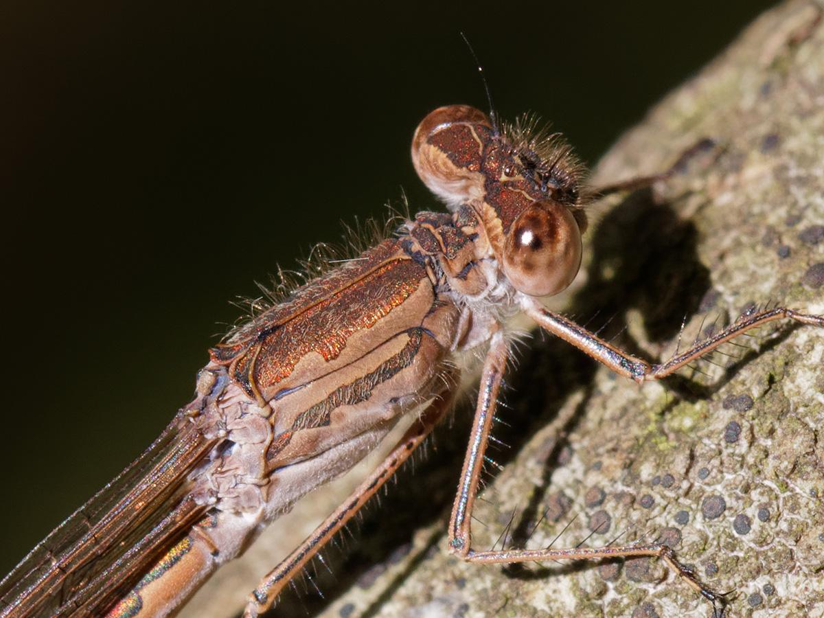 Sympecma paedisca, female