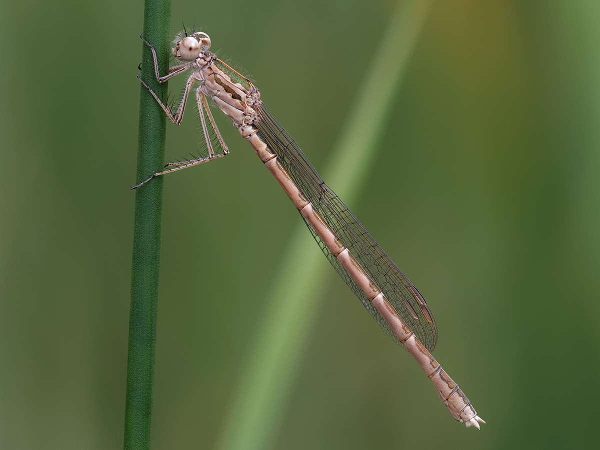Sympecma paedisca, immature female