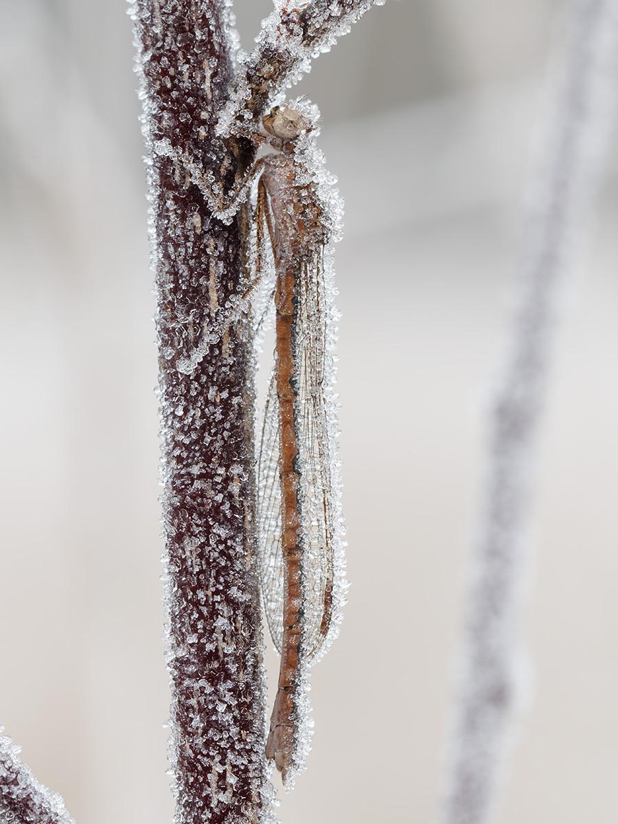 Sympecma paedisca, female, hibernating
