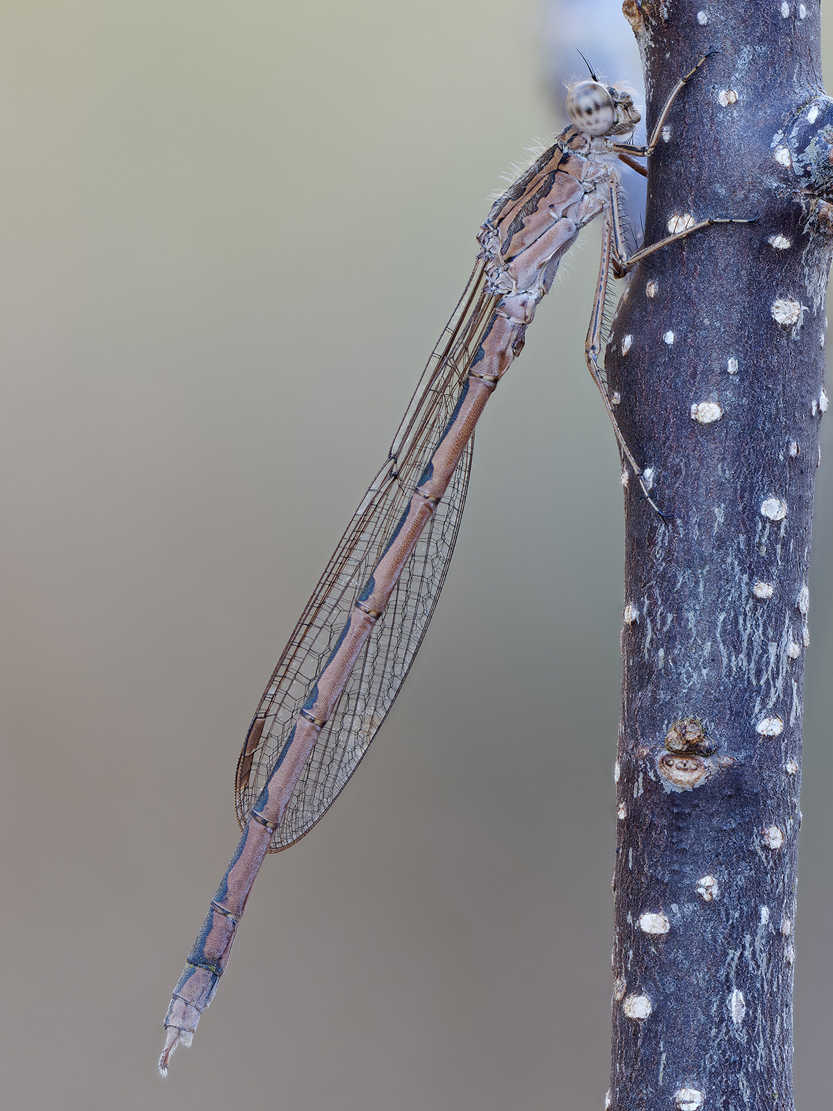 Sympecma paedisca, male