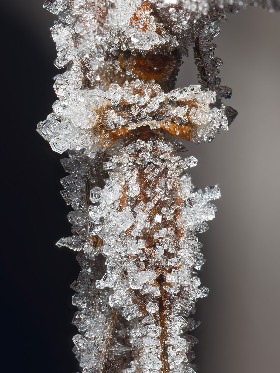 Sympecma paedisca, hibernating, detail