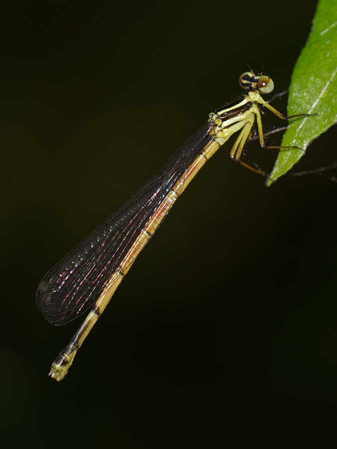 Calicnemia nipalica, immature female