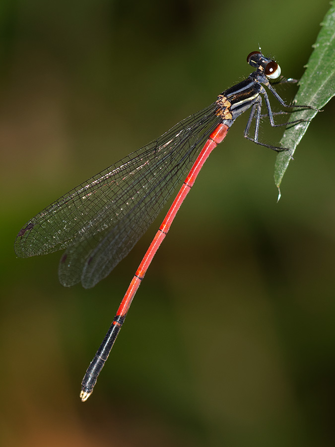 Calicnemia nipalica, male
