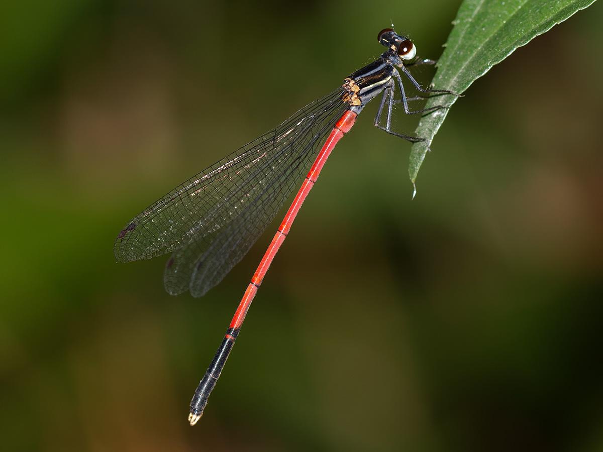 Calicnemia nipalica