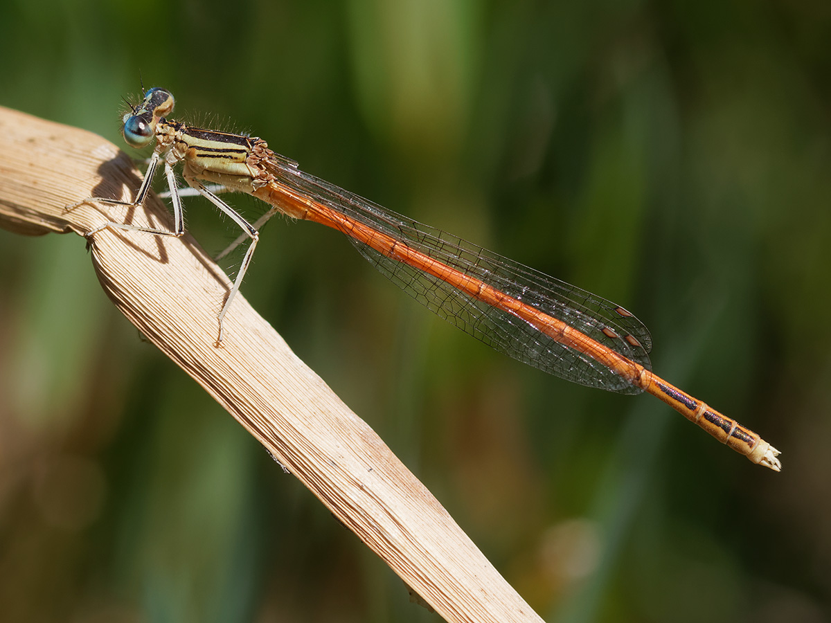 Platycnemis acutipennis - Orange Featherleg