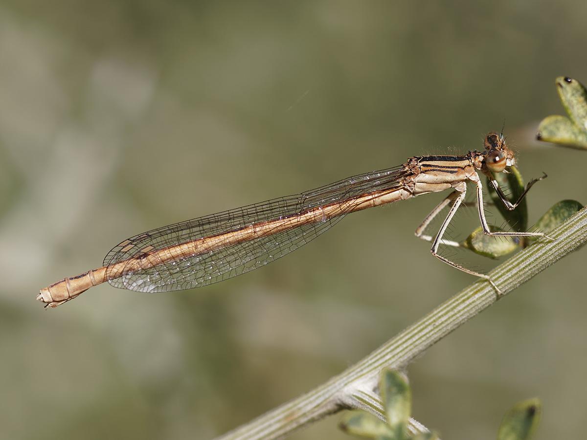 Platycnemis acutipennis, female