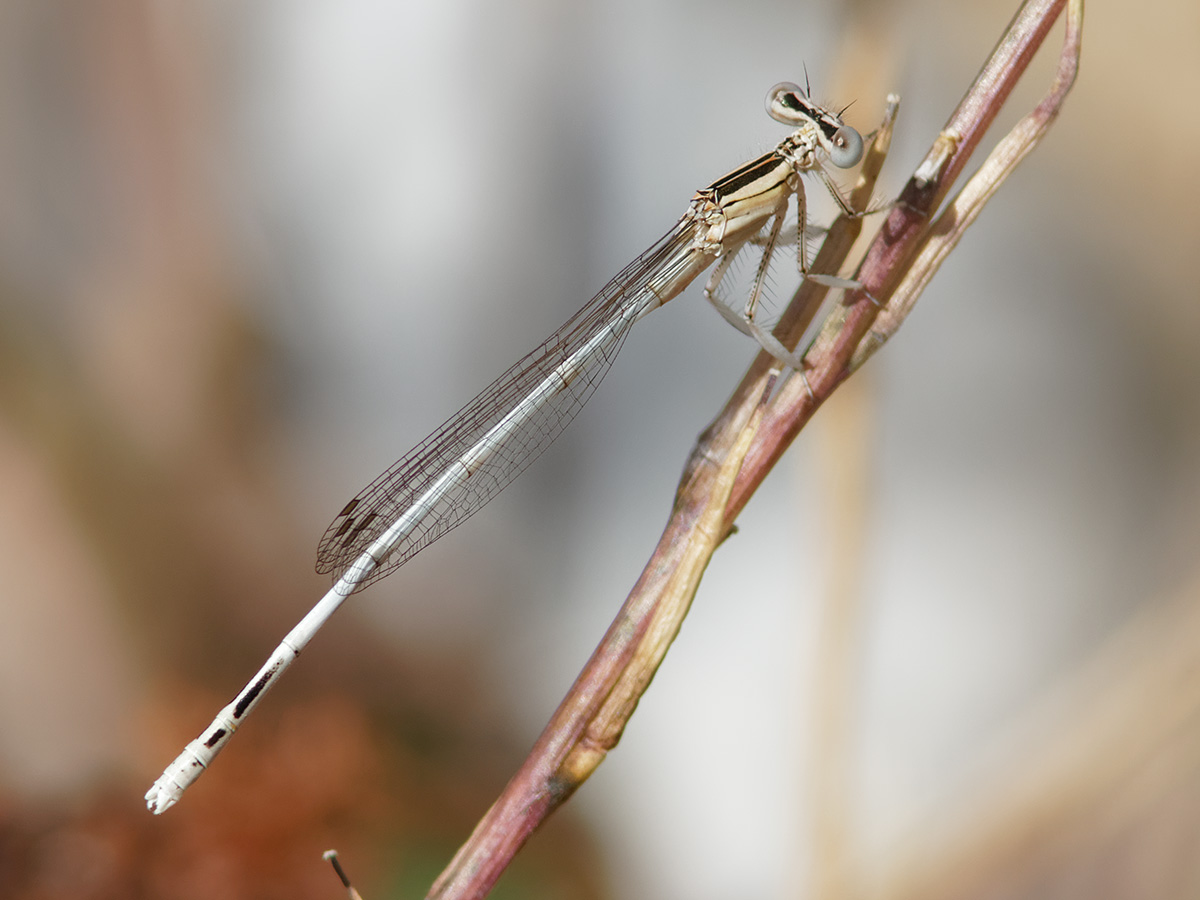 Platycnemis latipes - White Featherleg