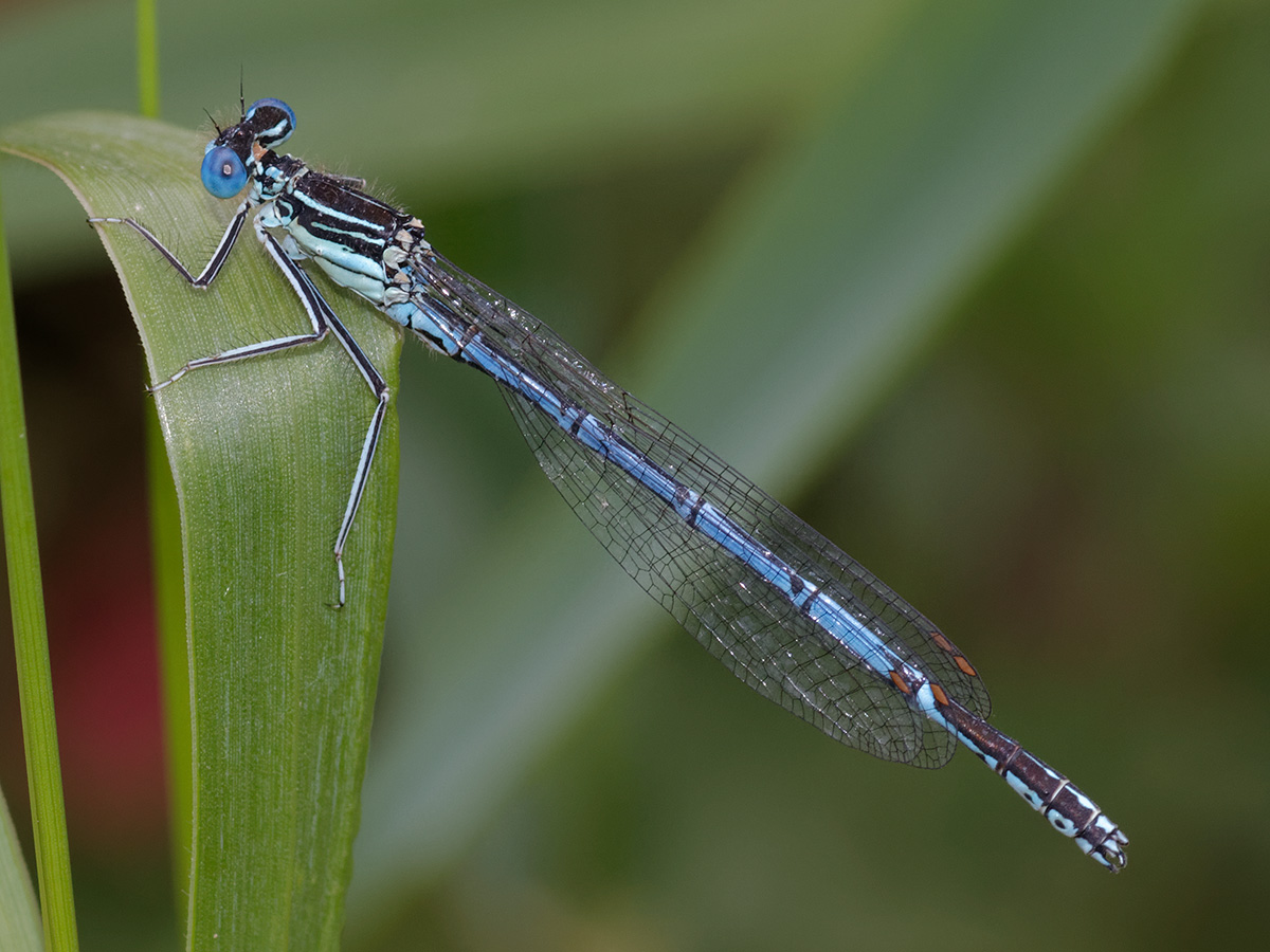 Platycnemis pennipes - Blue Featherleg